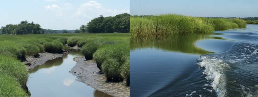Plum Island estuary. The resilient peat creek walls, soft mud bottom, and tall plants all help trap and store carbon within a healthy salt marsh environment. Photographs taken, and permission given by, Amanda Davis