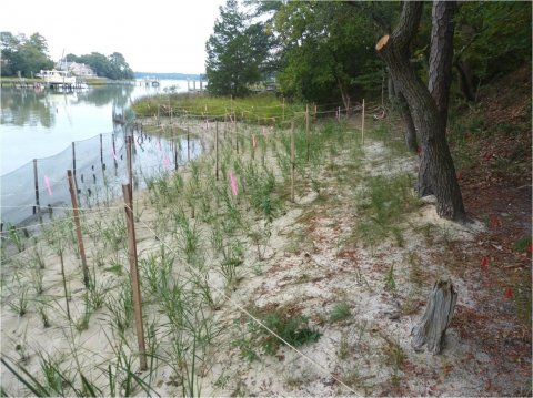 Marsh grass plantings 8 weeks after installation with temporary goose fencing. Source: Lynnhaven River Now