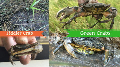 Displays a male mud Fiddler Crab (bottom left) and a Fiddler Crab burrow (top left) as well as a large Green Crab (top right) and two Green Crabs mating (bottom right).  All photographs were at the Plum Island Estuary and used with permission by Amanda Davis.