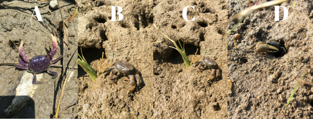 The Purple Marsh Crab (Sesarma reticulum) taken in Virginia. (B)(C) The Purple Marsh Crab alongside shredded cordgrass (Spartina alterniflora) at an impacted Cape Cod salt marsh. (D) Male mud Fiddler Crab (Uca pugnax) in Cape Cod. Photographs taken, and permission given, by Bethany Williams, Virginia Institute of Marine Science, Johnson Laboratory.