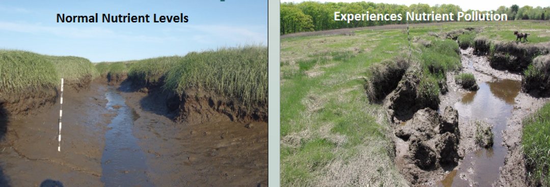 Stable creek walls that do not regularly experience nutrient pollution (left). A creek wall breaking, collapsing and decomposing into unvegetated mud in response to nutrient pollution (right). Both photos taken within the Plum Island Estuary in Massachusetts. Provided by the TIDE Project.