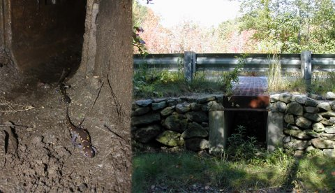 Salamander tunnels in Amherst, MA (left) and Princeton, MA (right). Photo credits: Noah Charney (Amherst tunnel) and Scott Jackson (Princeton tunnel).