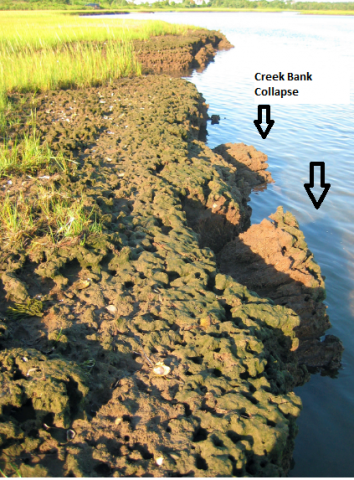 Burrow-riddled creek bank and creek bank collapse at the Cape Cod National Seashore, Wellfleet, Massachusetts, in June 2007. Photo taken, and permission given, by M.D. Bertness, Brown University.