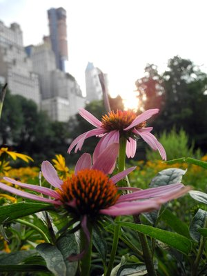 Coneflowers in New York City's Central Park. Credit: Catherine Ward.