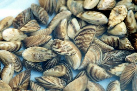 Invasive zebra mussels. (Source: USGS)
